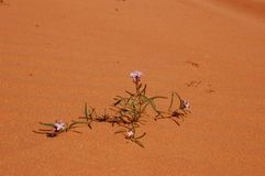 Bloemen in de woestijn Royalty-vrije Stock Foto