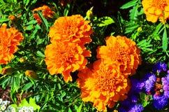 Bloemen in de zomer Stock Afbeelding