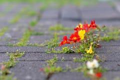 Bloemen die door beton groeien Stock Foto's