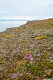 Bloemen die in noordpooltoendra in de zomer tot bloei komen, Svalbard Royalty-vrije Stock Afbeeldingen