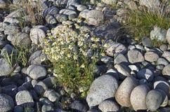 Bloemen die op de rotsen groeien. Stock Afbeeldingen