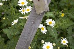 Bloemen die van close-up perken de mooie madeliefjes bij wit piket bloeien een tuin van het werf landelijke plattelandshuisje in  Royalty-vrije Stock Afbeeldingen