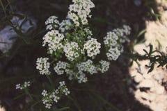 Bloemen die van het Yellowstone de nationale park in daling bloeien Stock Foto