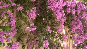 Bloemen die van Muur en het Slingeren hangen stock videobeelden