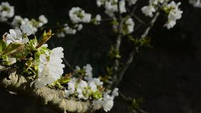 Bloemen in een boom met donkere achtergrond stock footage
