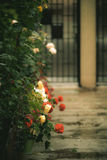 Bloemen in een regenachtige tuin van de de zomerdag Stock Afbeelding