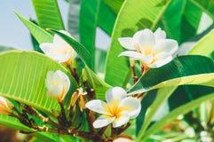 Bloemen en bladeren van witte frangipani Rode plumeriabloemen stock foto