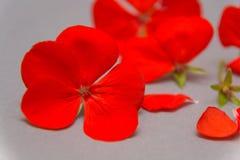 Bloemen en bloemblaadjes van geranium met heldere rode bloemen, grijze achtergrond romaans royalty-vrije stock fotografie