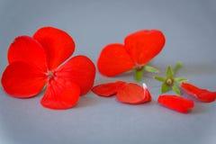Bloemen en bloemblaadjes van geranium met heldere rode bloemen, grijze achtergrond romaans stock foto