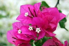 Bloemen en bracteeën van bougainvillea royalty-vrije stock afbeelding