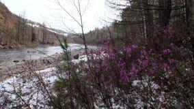 Bloemen en installaties op kust van rivier in berg Siberië Rusland stock video
