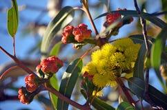 Bloemen en knoppen van de Eucalyptus van de malleegomboom erythrocorys stock foto's