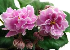 Bloemen en knoppen van inzamelings Afrikaanse viooltjes ` EK-Lyubasha ` Stock Fotografie