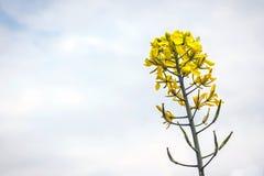 Bloemen en peulen van mosterd op het gebied, tegen de hemel Stock Afbeelding