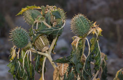 Bloemen en vruchten van wilde intoxicatie, doornappel stock afbeeldingen