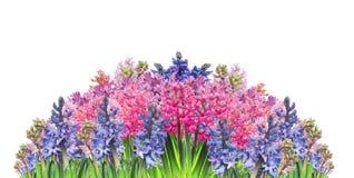 Bloemen geïsoleerde grens met multicolored hyacinten, Stock Afbeeldingen