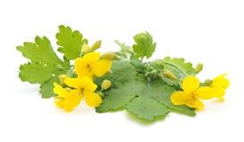 Bloemen gele celandine Stock Foto's