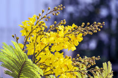 Bloemen gele flametree Stock Afbeeldingen