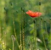 Bloemen gemeenschappelijke papaver stock afbeelding