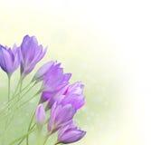 Bloemen Grens met krokussen Stock Afbeeldingen