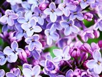 Bloemen heldere achtergrond van lilac bloemen Stock Afbeelding