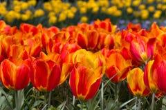 Bloemen in het Keukenhof-park, Lisse Stock Foto