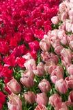 Bloemen in het Keukenhof-park, Nederland Royalty-vrije Stock Afbeelding