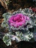 Bloemen kool in tuin Stock Fotografie