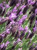 Bloemen - lavendel Stock Foto's