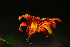 bloemen, lelie Stock Afbeelding