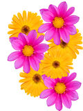 Bloemen met gele en violette bloemblaadjes Royalty-vrije Stock Afbeeldingen