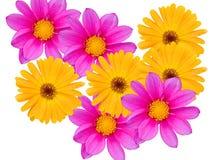 Bloemen met gele en violette bloemblaadjes Stock Afbeeldingen