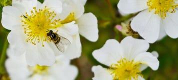 bloemen met honingbij Royalty-vrije Stock Afbeeldingen