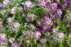 Bloemen met kleine lossoms die in de tuin bloeien Stock Afbeeldingen