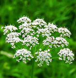 Bloemen met mier. Stock Afbeeldingen