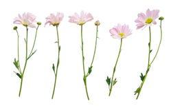 Bloemen met stammen op wit worden geïsoleerd dat Stock Afbeelding