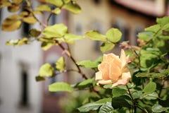 Bloemen met vage huizen Royalty-vrije Stock Afbeeldingen