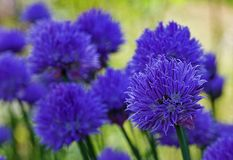 Bloemen in mijn tuin Royalty-vrije Stock Afbeelding
