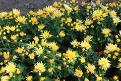 Bloemen mooi in Thailand Stock Afbeeldingen