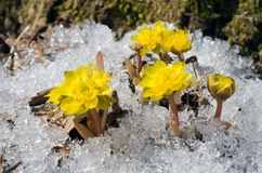 Bloemen onder sneeuw 22 Stock Foto's