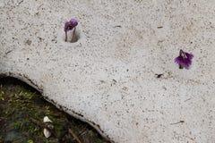 Bloemen onder sneeuw, Slovenië Royalty-vrije Stock Foto