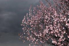 Bloemen op abrikozenboom royalty-vrije stock foto's