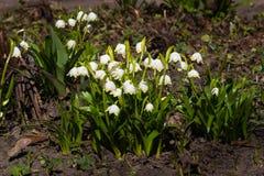 Bloemen op bloeiend van de lentesneeuwvlok of leucojum vernumclose-up, selectieve nadruk, ondiepe DOF royalty-vrije stock fotografie