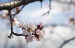 Bloemen op de abrikozenboom in aard Royalty-vrije Stock Foto