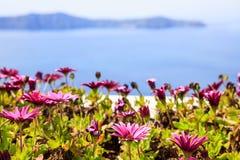 Bloemen op de achtergrond van Nea Kameni - Santorini Griekenland royalty-vrije stock fotografie