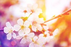 Bloemen op de lenteboom Gestemd modern Stock Afbeelding