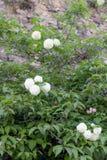 Bloemen op de struiken op de achtergrond van een oude steenmuur royalty-vrije stock fotografie