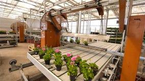 Bloemen op de transportbandlijn Industrieel binnenland Kleurrijke bloemen in moderne serre Moderne geautomatiseerde serre stock footage