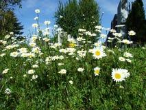 Bloemen op de weide dichtbij de stad van Gossau stock foto