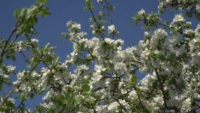 Bloemen op een bloeiende boom stock videobeelden